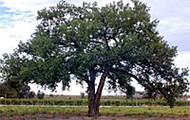 Cotton Wood Tree