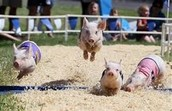 Race the Pig!
