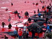 http://www.amusingplanet.com/2011/11/mass-whale-hunting-in-faroe-islands.html