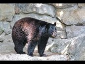 Kermodes, Asian and American Black Bears