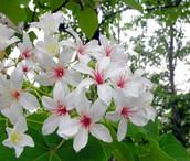 關於桐花祭