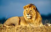 shranded lion