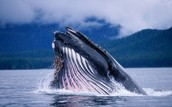 Where are the blue whales and where can you find them?