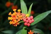 Asclepadaceae