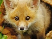 What is a fox?