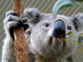 The koala eats  leaves.