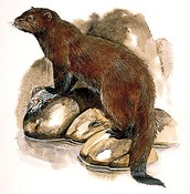 EXTINCT: Sea Mink - Neovison macrodon