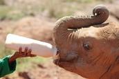 Feed baby elephants