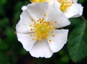 Multiflora Rose (Plant)