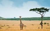 were the giraffe lives