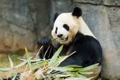 Las Pandas
