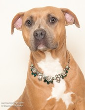ONLINE Fundraiser for PB SOC (Pit Bull Socialization and Obedience Crew)