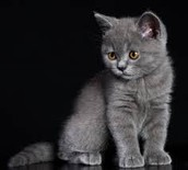 ועכשיו נעבור לחתול בריטי