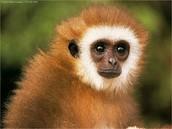 Martin the Monkey