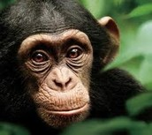 Chimps and apes!