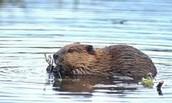 Pond life of a beaver