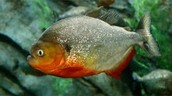 What is a Piranha and where can it be found?