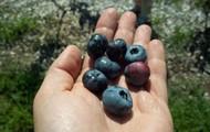 Fruit in the hands of the gardener.