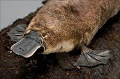 platypus facts