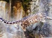Snow Leopard- jumping