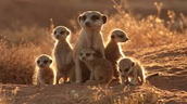 This Meerkat family is curious about something.