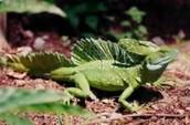 Male Basilisk Lizard