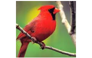The State Bird of Illinois The Cardinal