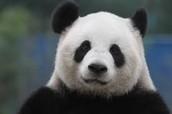 Panda Bear :)