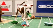 The puppy is getting ready for the Puppy Bowl.