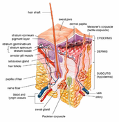 2 layers of skin Epicdermis and dermis