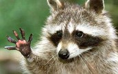 The Raccoon is the state animal.
