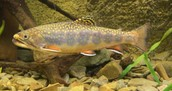 State fish: Brook Trout