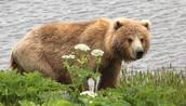 A Kodiak Bear