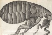 Fleas Carried the Plague