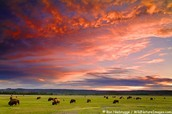 Herd of Bison with the Sunset
