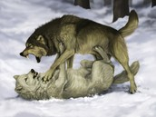 wolf fight for
