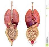 Full Graphic of Organs