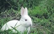 rare jack rabbit