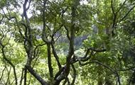 Hawaii's cool state tree