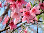 Beautiful Peach Blossoms
