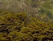 Feófitas