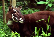 Facts about the Saola