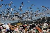 Seagulls at a Landfill