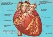 Major blood vessels of the heart