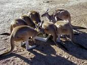Kangaroo groups