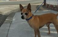 Alex -- 6 yr old, 6 lb Chihuahua