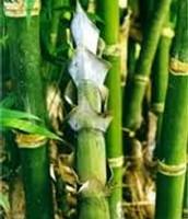 Bangal Bamboo