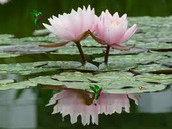 what the lotus look like