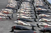 Whale killing in Denmark