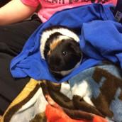 Buddy our new guinea pig!